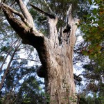 Coastal Blackbutt Tree