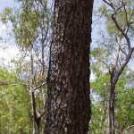 Grey Ironbark Tree