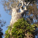 Redgum Tree