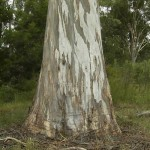 Sydney Blue Gum Tree