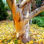 Yellow Stringybark Tree